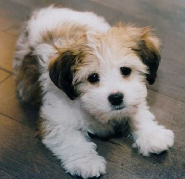 Mini breed dog day birmingham - Best dogs for small spaces pict ...