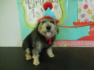 Tyson Browne the Terrier mix celebrating his birthday