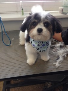 Cali Monaghan the Havapoo looking adorable after her grooming appointment.