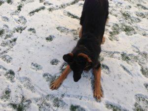 Eva the German Shepherd