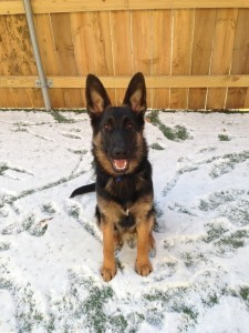 Eva the German Shepherd puppy