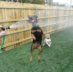 Zena the Rottweiler and Herbie the Bulldog