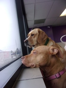 Golden retriever and Pitbull Gazing out the window