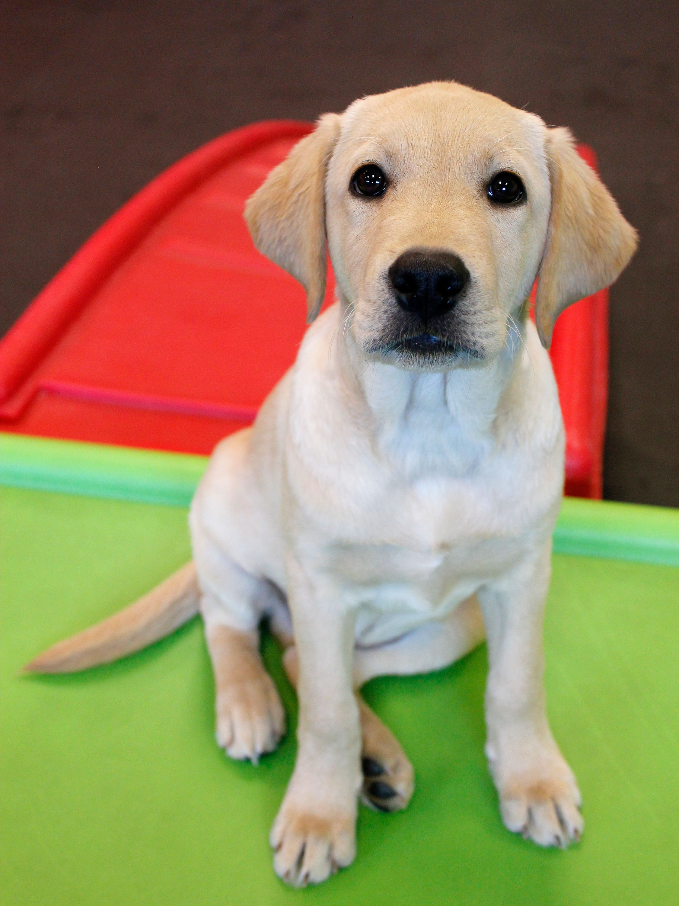 cute lab puppy dogtopia mississauga daycare