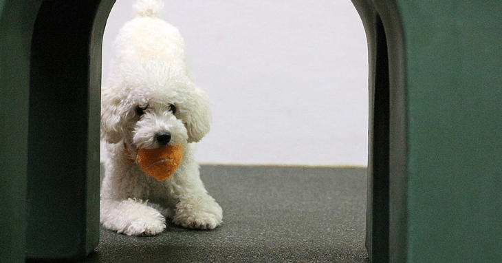 Toy poodle plays with a ball in Dogtopia Erindale in Mississauga