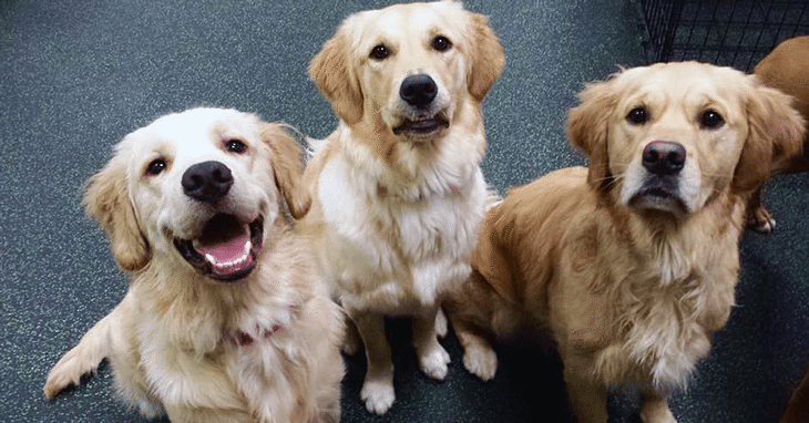 Golden Retrievers strike a pose together at Dogtopia Meadowvale