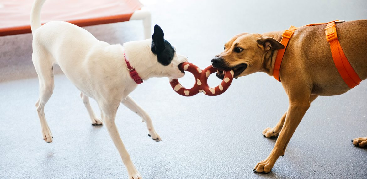 2 Dogs play tug of war